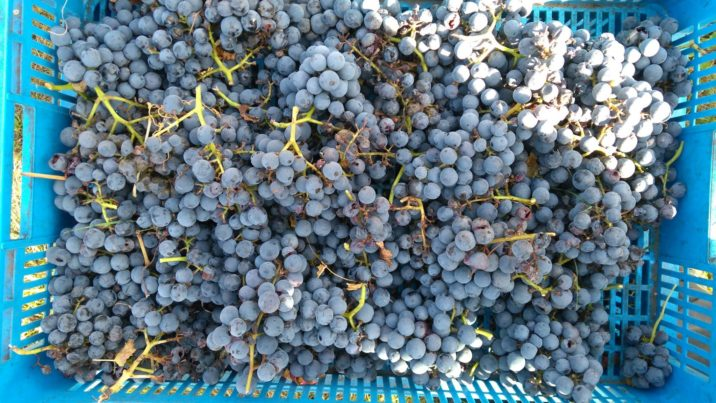 grappoli d'uva appena raccolti nella cesta