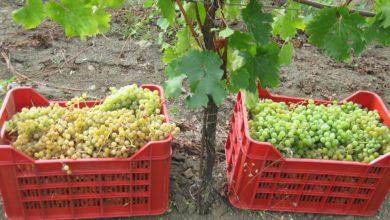 Come riconoscere i vini naturali. Perché dire vino biologico non basta