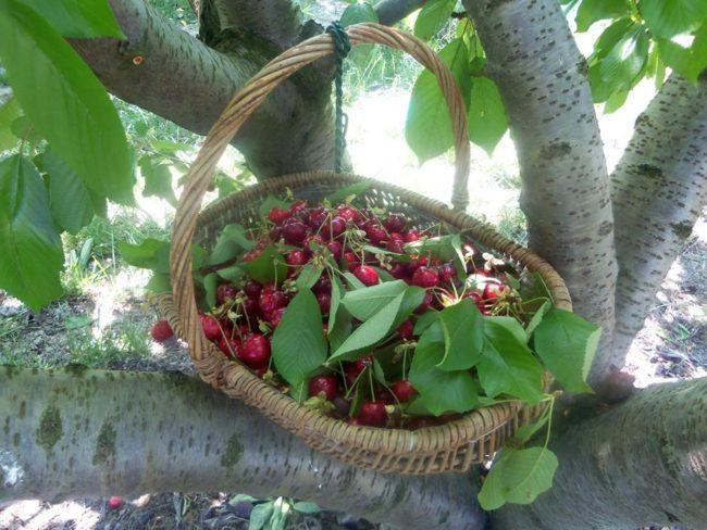Un altro modo per risparmiare: la frutta viene colta dagli stessi acquirenti al Campo dei Frutti, PC.