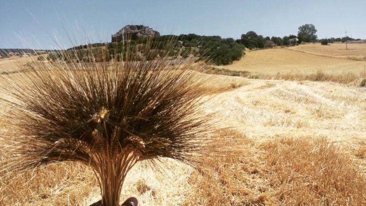 grano-cappelli-consorzio-sardo