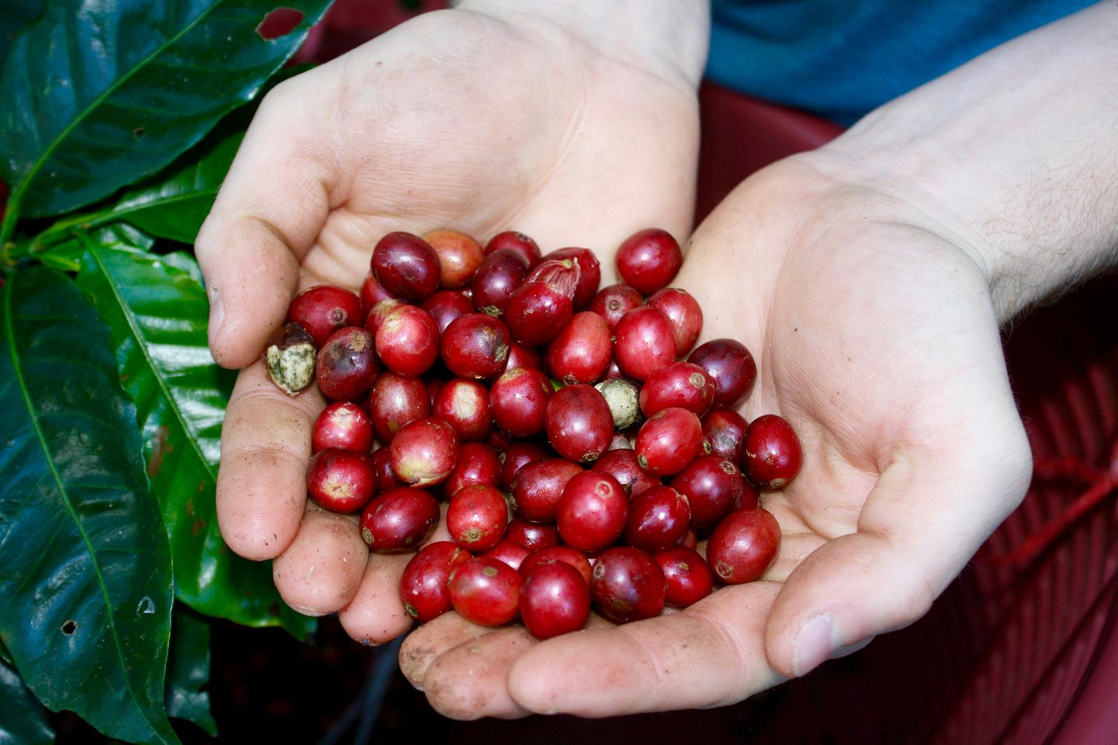 Coffea arabica