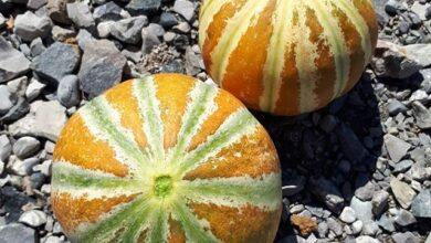 Melone Kajari La Radice