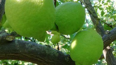 limoni-bio-siciliani-gisira