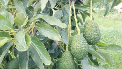 avocado-siciliani-bio-Gisira