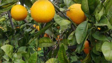 arance-bio-tarocco-gisira