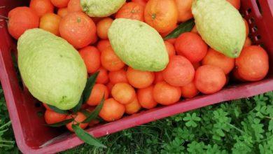cedri-e-clementine-biologiche-gisira
