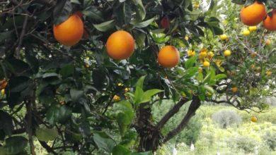 arance-navel-bio-gisira
