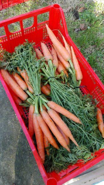 carote con foglie